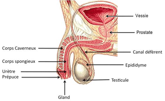 schéma anatomie appareil génital masculin